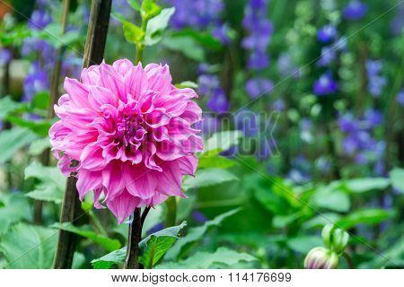 Pink Dahlia On Blur Garden