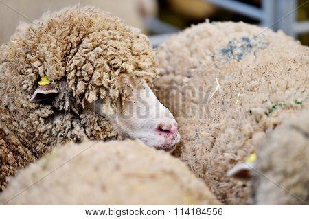 Sheep Cramped Inside A Farm
