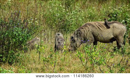 Family of warthogs and a small bird, Kenya