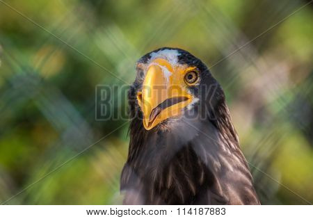 Portrait of Steller's sea eagle