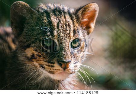 portrait Wild Cat ,Felis silvestris