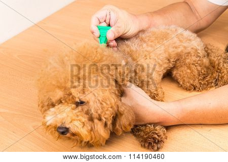 Vet Applying Ticks, Lice And Mites Control Medicine On Dog