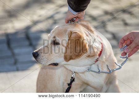 Woman putting correction collar to a Labrador Retriever dog for training