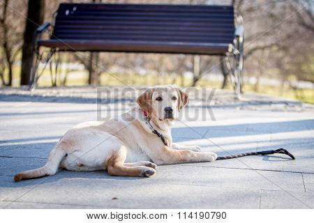 Labrador Retriever Puppy Dog in a park