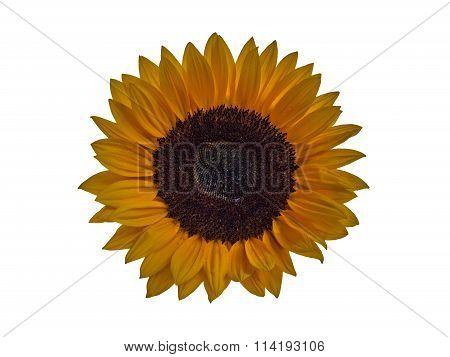 Sunflower blossom isolated