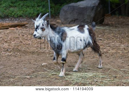 Young Goat: White, Black And Brown