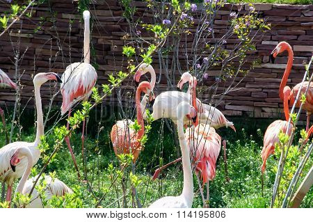 Pink flamingos. Beautiful birds with long necks.
