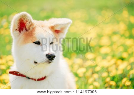 Close up of Akita Dog or Akita Inu, Japanese Akita Puppy Sitting