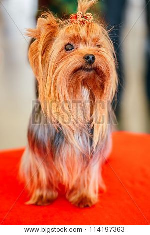 Cute Red Yorkshire Terrier Dog