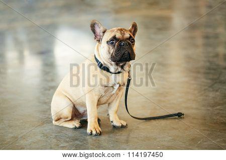 Lost Sad Dog French Bulldog sitting on floor