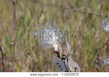 Milkweed Plant Bursting (Asclepias syriaca)