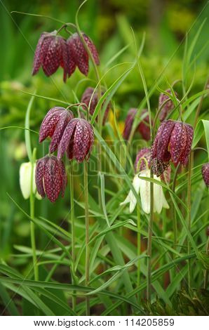 Fritillaria Meleagris In The Garden