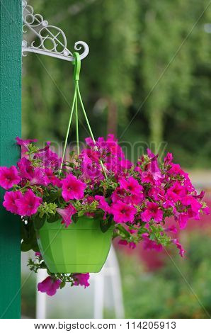 Flowering Petunia In Pot