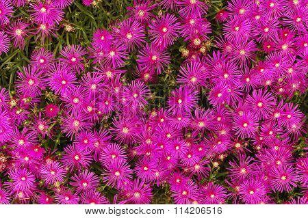 Crimson Flowers At Summer