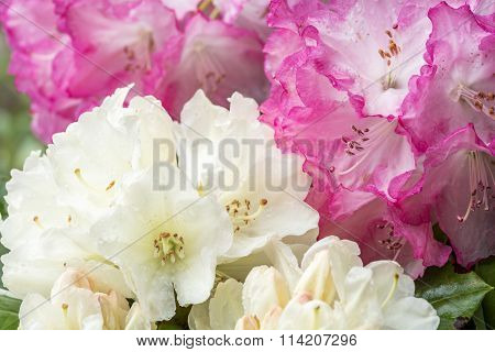 Close up rhododendron flowers
