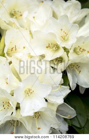 Pale yellow rhododendron