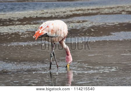 Pink Flamingos In The High Andean Plateau, Bolivia