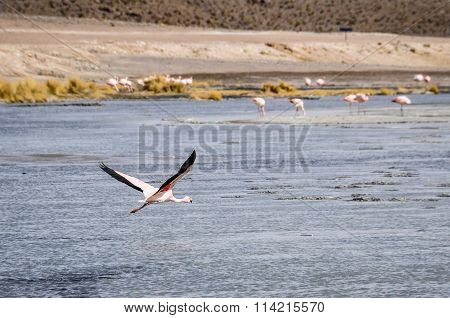Flying Flamingo In The High Andean Plateau, Bolivia