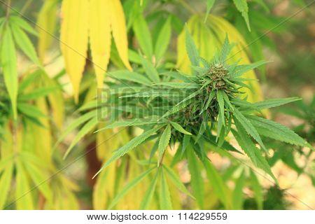 Cannabis Plant (marijuana)