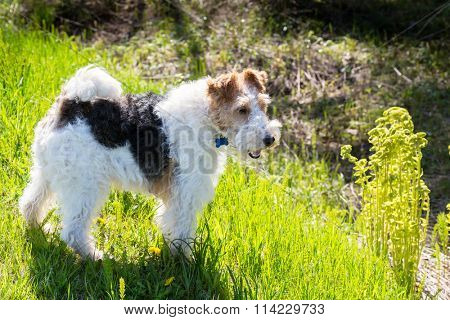 Wire fox terrier off a woodland path.