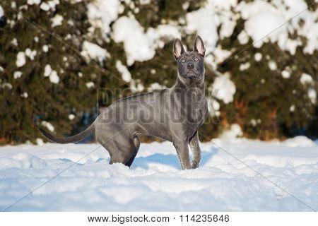 Thai ridgeback dog outdoors in winter