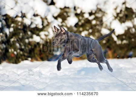 thai ridgeback dog jumping in the snow
