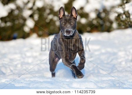 Thai ridgeback dog running outdoors in winter