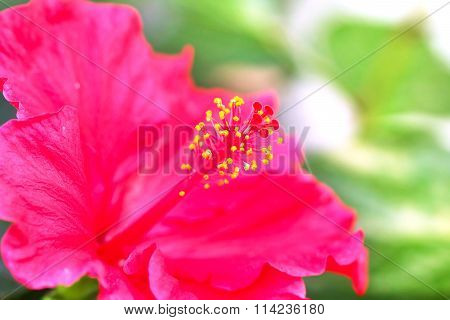The Hibiscus Flower Close Up