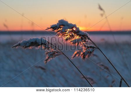 Hoar frost on reed in a winter landscape