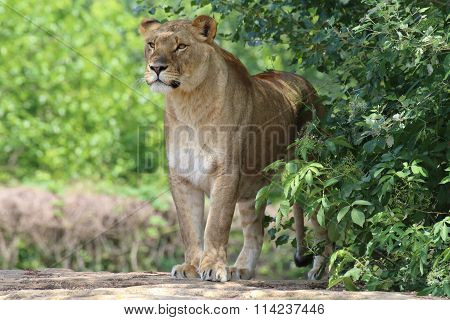 Lioness Waiting For Its Prey