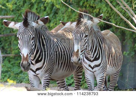 Zebras Seek Shelter From The Sun Under A Tree