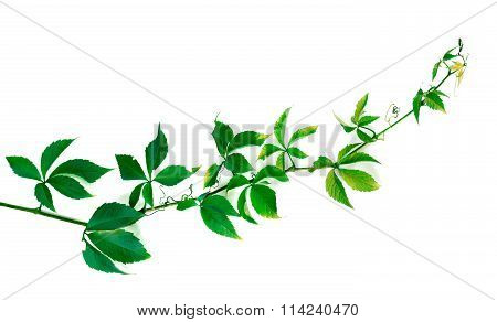 Twig Of Grapes Leaves