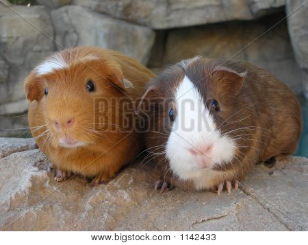 Guinea Pigs On The Rocks