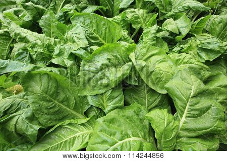 green sliverbeet crops grow in vegetable garden