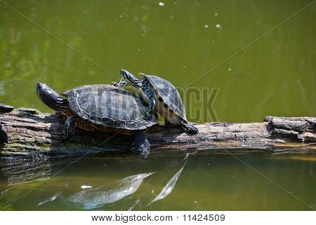 Copulating Turtles