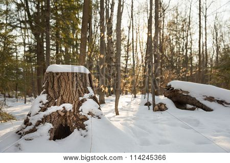 Winter Forest Scene With Stump In Foreground