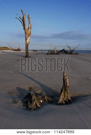 Remains of Oak Trees on the Beach