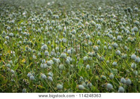 Capsules of poppy field
