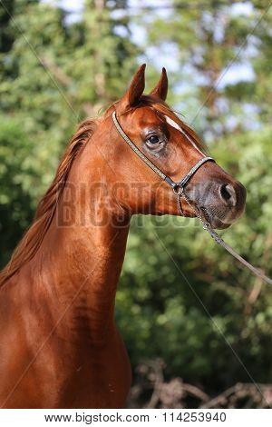 Close-up Beautiful Arabian Horse Head On Natural Background