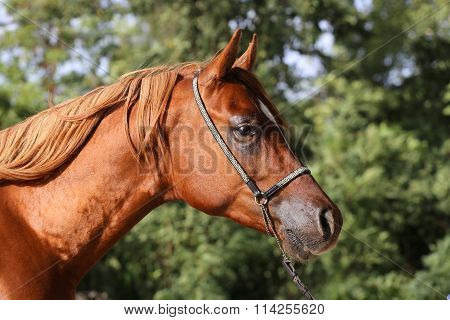 Close Up Of A Thoroughbred Stallion