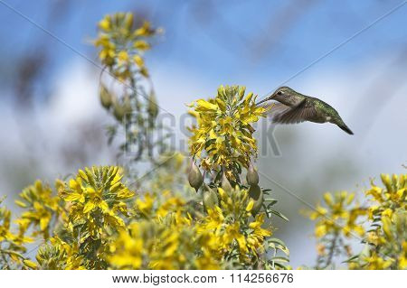 Anna's Hummingbird flying drinking from yellow flowers