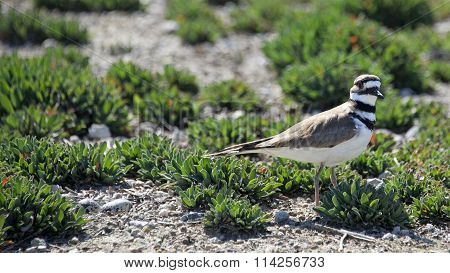 Killdeer Nesting on the ground, bird moving away from nest to draw away predator