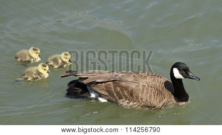 Canada Goose Mother with Goslings in the water