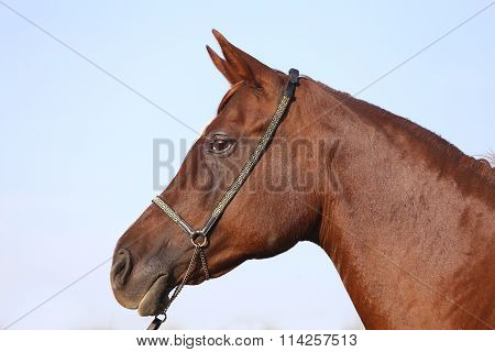 Purebreed Arabian Stallion Head With Halter Against Blue Sky