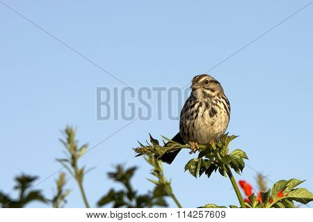 Song Sparrow in a tree top