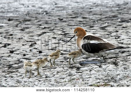 American Avocet Female protecting her new hatchlings