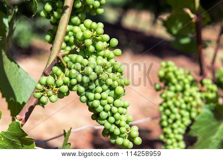 Closeup Of Grapes