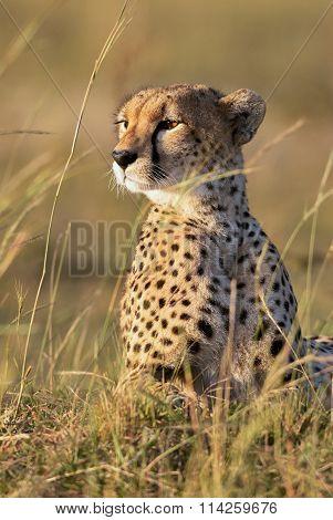 Portrait Of A Beautiful Cheetah