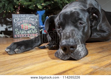 Exhaused Great Dane