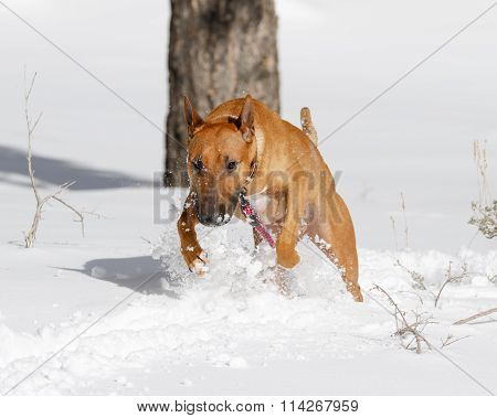 Bull Terrier jumping in the snow
